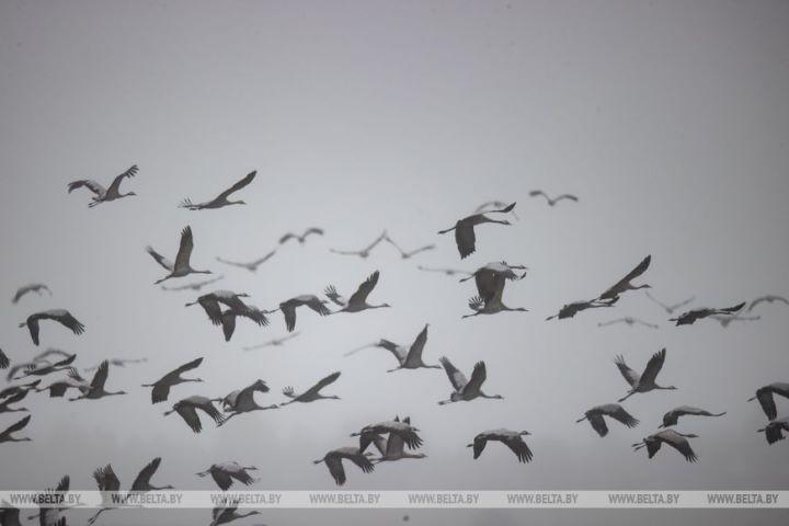 Серые журавли собираются в стаи и готовятся к отлету на юг.Фоторепортаж
